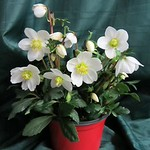 Helleborus Jacob 6.5in